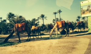 Marrakesh. Old world meets new. Camels grazing at the side of the road.