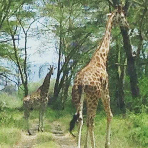 nairobigiraffes